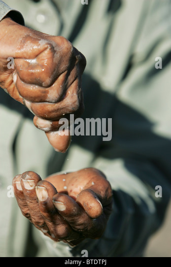 Bushman squeezing a bulbous plant to obtain water - Stock Image