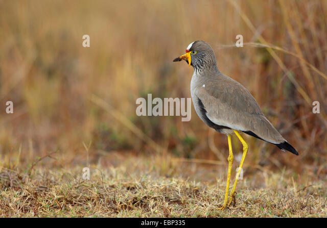 Senegal wattled plover (Vanellus senegallus), standing on the ground, South Africa, Ithala Game Reserve - Stock Image