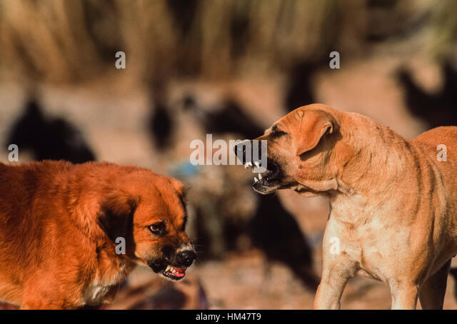 Feral dogs fighting on an animal waste dump, (since vulture decline feral dog population has increased), Rajasthan, - Stock Image