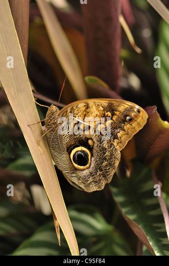 common blue morpho butterfly on a leaf , morpho peleides - Stock Image