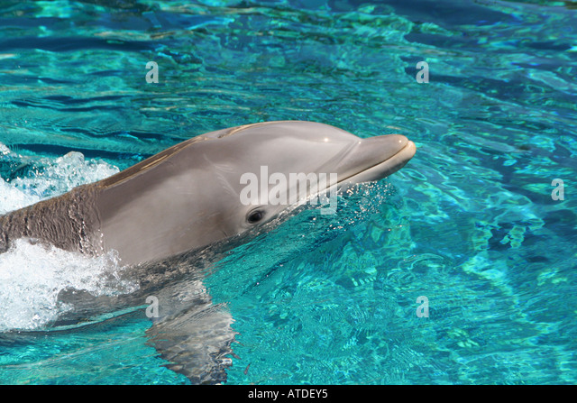 Dolphin swimming in a pool. - Stock Image