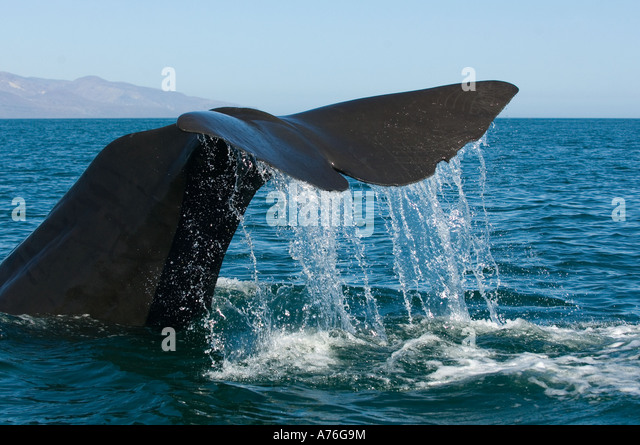 Sperm Whale (Physeter macrocephalus) Diving, Baja California, Sea of Cortes MEXICO - Stock Image