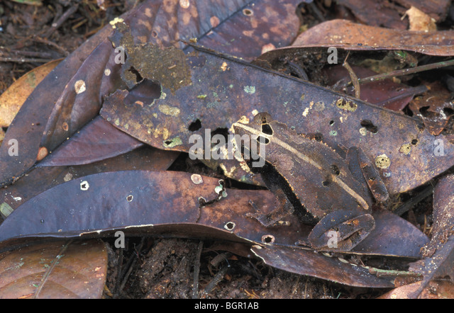 Bat-faced Toad, adult camouflaged in leaf litter, Amacayacu Nationalpark, Colombia - Stock Image