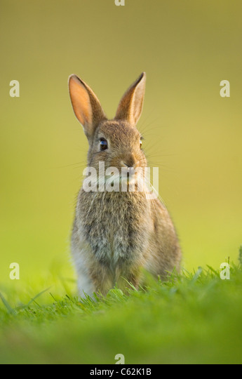 RABBIT Oryctolagus cuniculus In the last rays of evening light a young rabbit sits alert near its warrenNorfolk, - Stock-Bilder