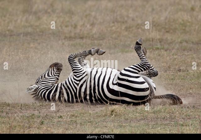 Common zebra (Burchell's zebra) (Equus burchelli) dust bathing, Ngorongoro Crater, Tanzania, East Africa, Africa - Stock Image