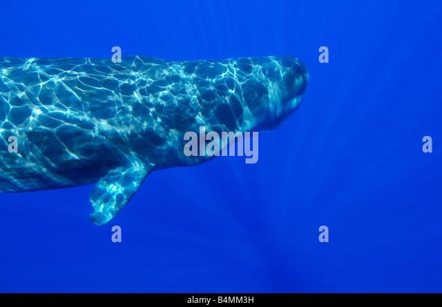 Physeter catodon, Physeter macrocephalus, sperm whale underwater - Stock Image