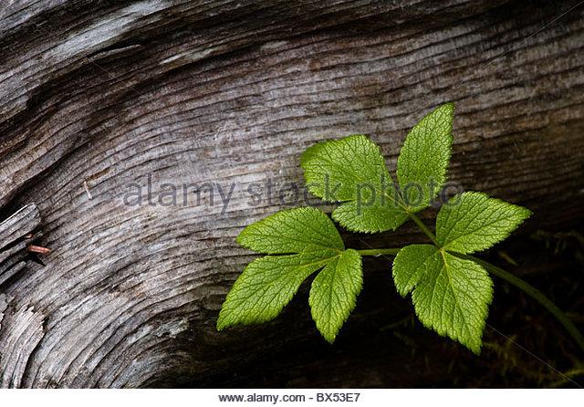 Detail of leaves juxtaposed against the grain of a fallen log in Kenai Fjords National Park. - Stock Image