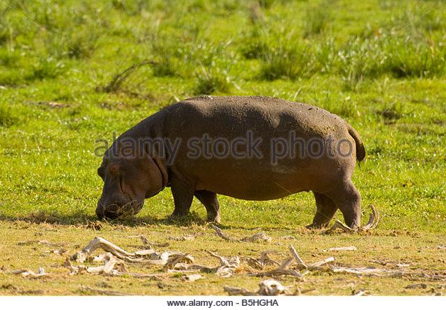 Hippopotamus Amboseli National Park Kenya - Stock-Bilder