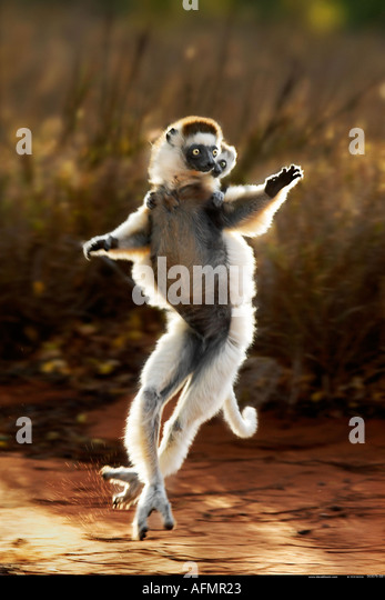 Mother and baby Verreaux's sifaka Berenty Madagascar - Stock-Bilder