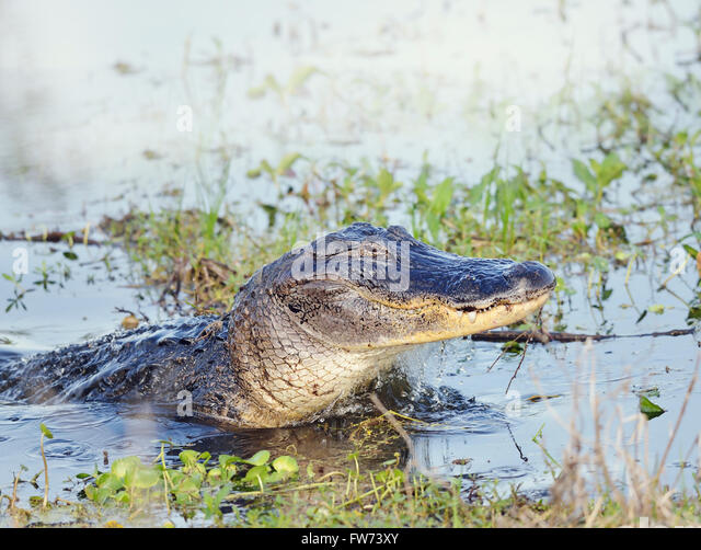 Wild Florida Alligator Jumps out of  Water - Stock-Bilder