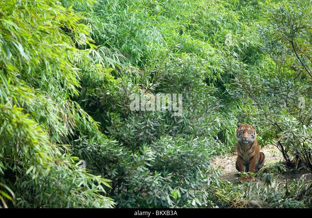 Sumatran Tiger - Stock Image