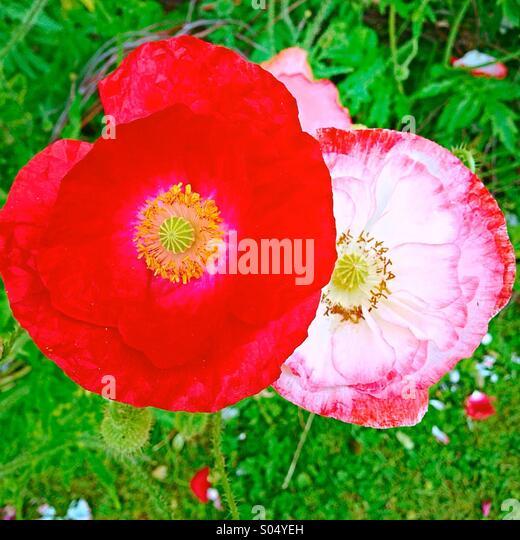 A pair of poppies - Stock-Bilder