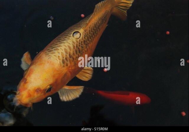 Coy carp stock photos coy carp stock images alamy for The coy carp
