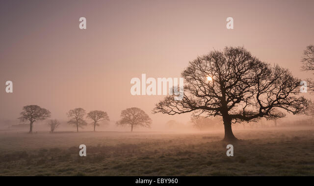 Trees in fog at sunrise, Devon, England. Winter (March) 2014. - Stock Image