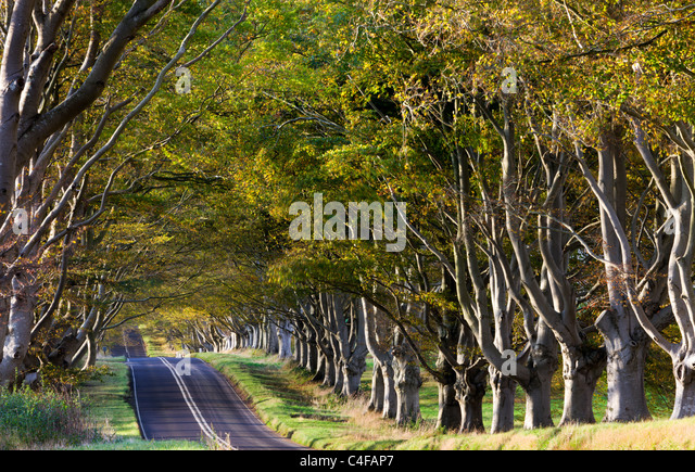 Beech tree avenue near Badbury Rings in Dorset, England. Autumn (October) 2009. - Stock Image