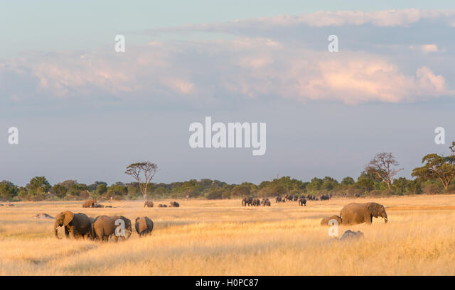 Herds of elephants emerging from a woodland to feed on an open grassland savannah - Stock Image
