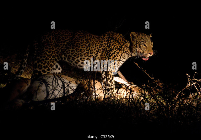 Leopard with fresh kill - Stock Image