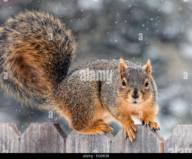 Squirrel on fence - Stock Image
