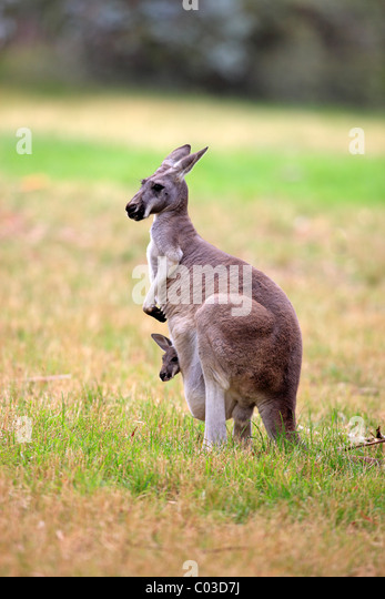 Eastern Grey Kangaroo (Macropus giganteus), female adult with young in pouch, Australia - Stock Image