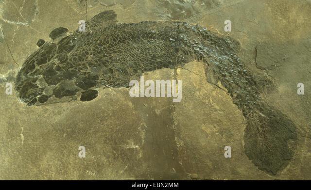Gyroptychius (Gyroptychius agassizii), fossilised Gyroptychius from Middle Devonian, United Kingdom, Scotland - Stock Image