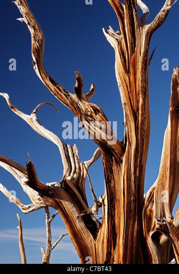 Bristlecone pine, Inyo National Forest, White Mountains, California, USA - Stock-Bilder
