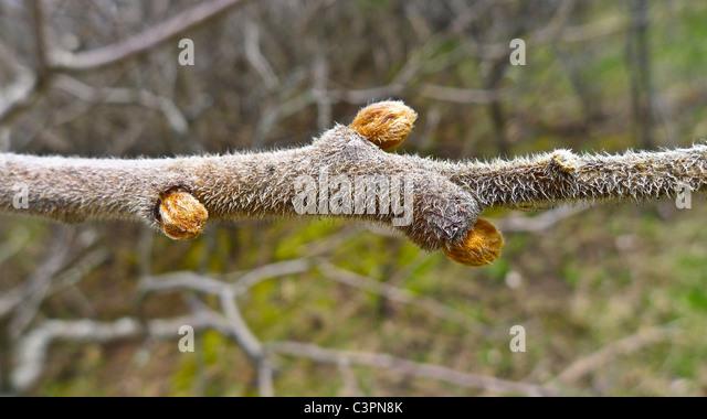 Fresh springtime buds on tree branch - Stock Image