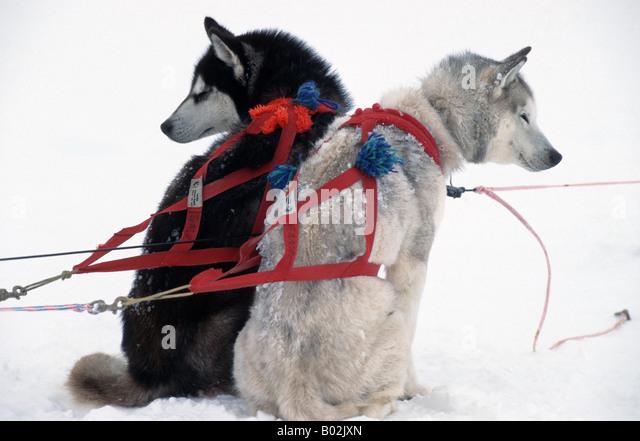 Siberian Husky Quebec Nunavik Stock P...