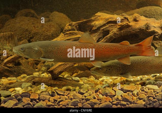 Danube salmon, huchen (Hucho hucho), milkner in nuptial colouration - Stock Image