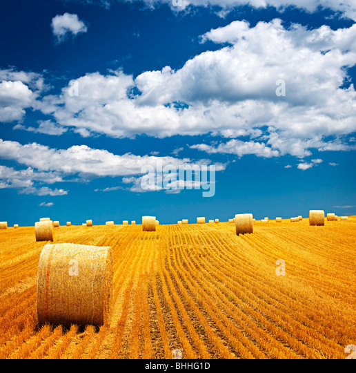 Agricultural landscape of hay bales in a golden field - Stock Image