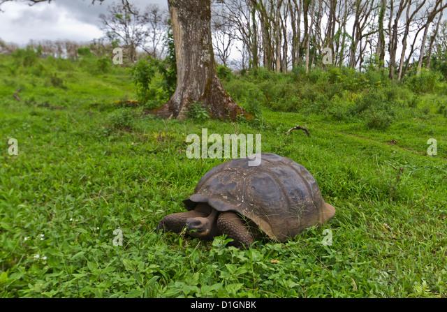 Wild Galapagos giant tortoise (Geochelone elephantopus), Santa Cruz Island, Galapagos Islands, Ecuador, South America - Stock-Bilder