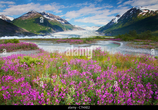 Wildflowers at Spencer Glacier, Chugach National Forest, Alaska. - Stock Image