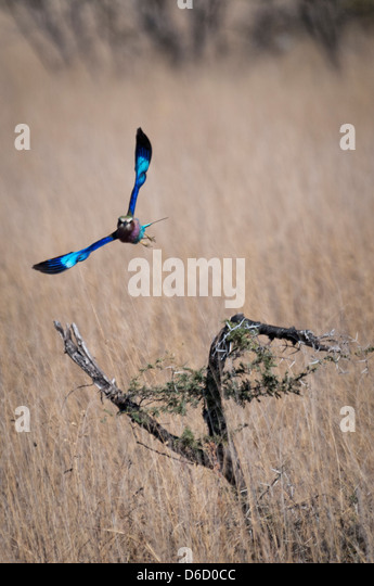 Front View of a Lilac-Breasted Roller, Corcias caudata, in flight, Etosha National Park, Namibia, Africa - Stock Image