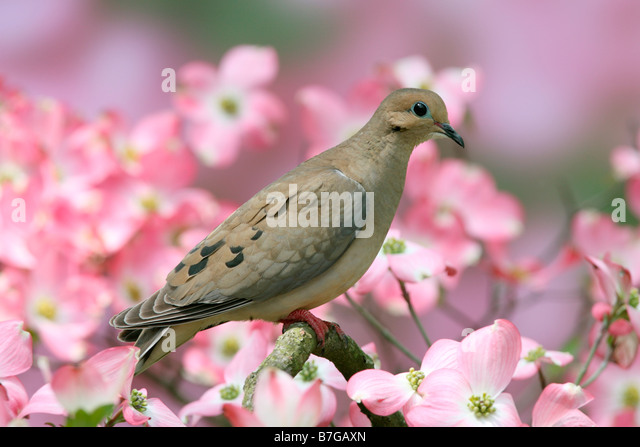 Mourning Dove in Flowering Dogwood - Stock Image