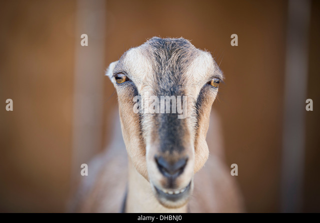 A goat staring through the bars of a stall in a barn. - Stock Image