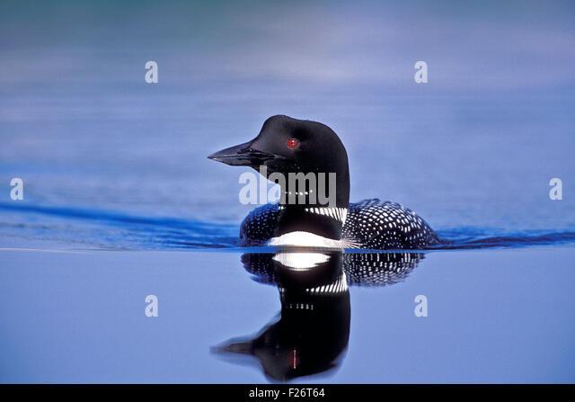 Common Loon swimming in lake. - Stock-Bilder