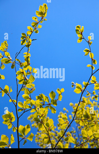Bright yellow green Hazel leaves with insects buzzing around and on them against a blue sky - Stock Image