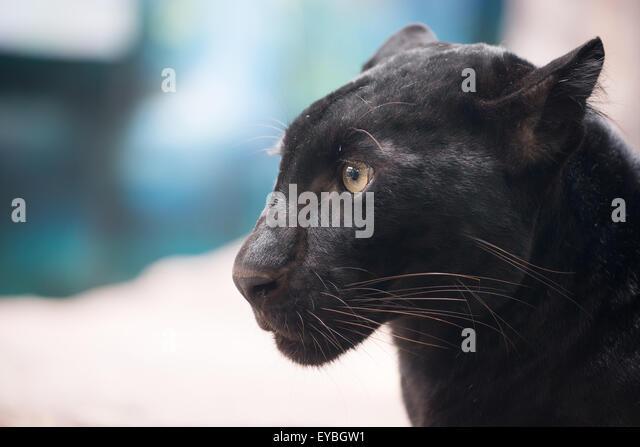 Panther Black Stock Photos Amp Panther Black Stock Images