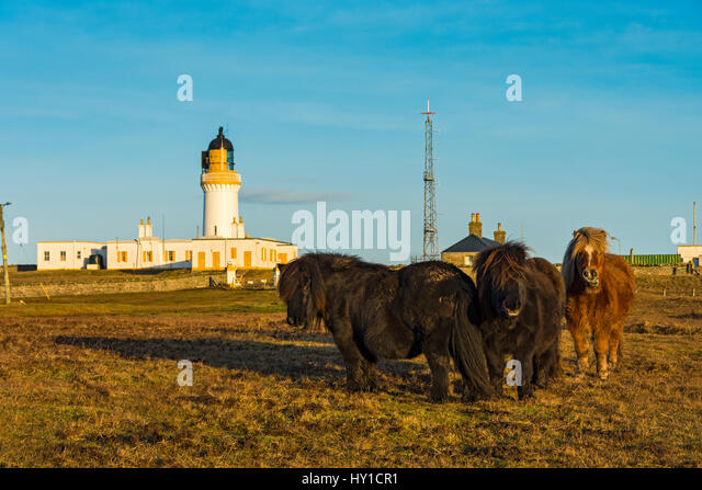 The lighthouse and Shetland ponies at Noss Head, near Wick, Caithness, Scotland, UK - Stock Image