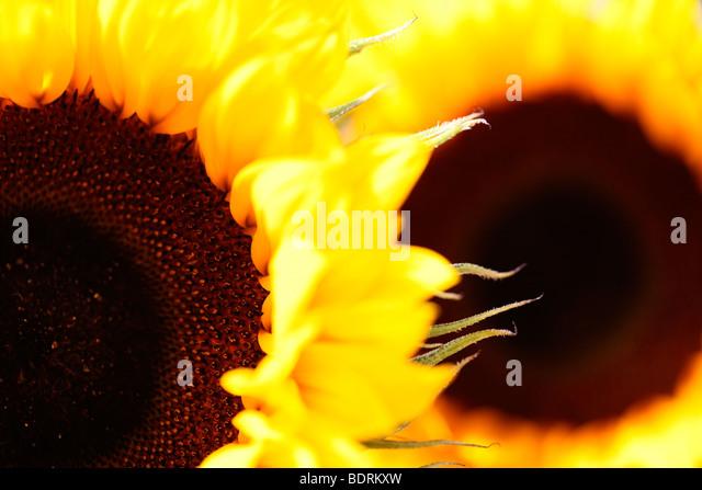 striking impressive sunflower heads - fine art photography Jane-Ann Butler Photography JABP584 - Stock Image