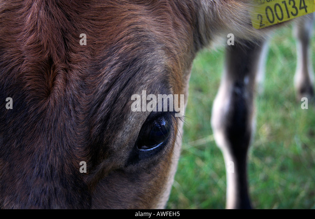 Reddish brown calf with identifying ear tag, close up - Stock Image