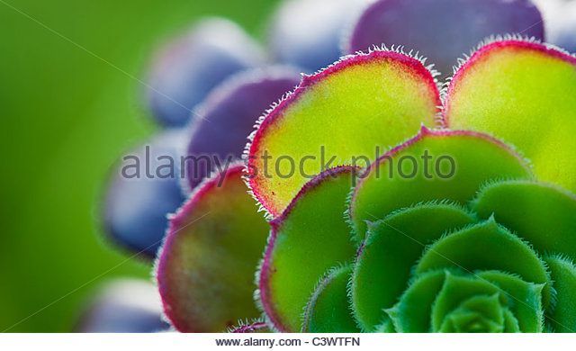 Aeonium leaf abstract - Stock Image