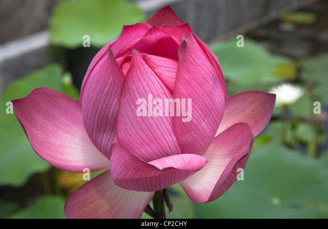 Plants Revered Stock Photos & Plants Revered Stock Images ...