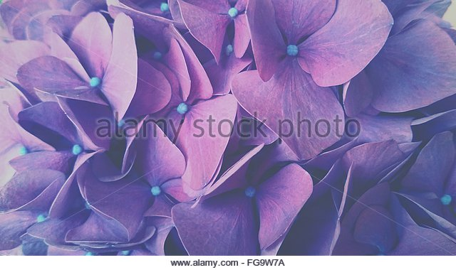 Full Frame Shot Of Purple Hydrangea Blooming Outdoors - Stock-Bilder