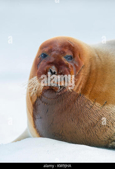 Bearded Seal on Ice Floe - Stock Image