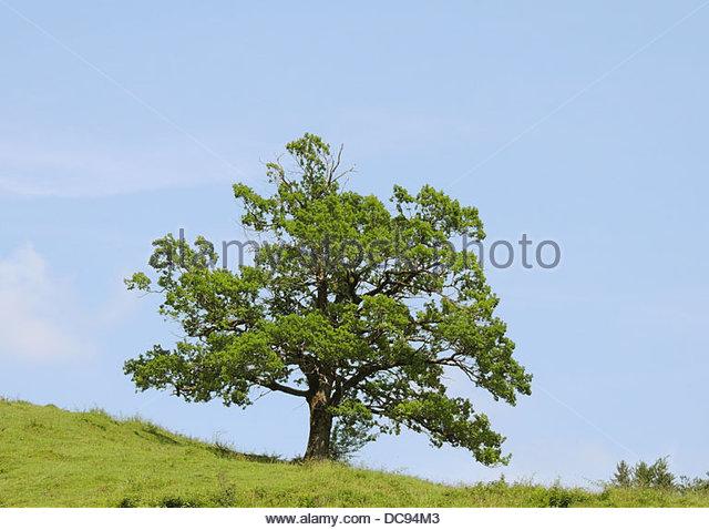 Oak - Stock-Bilder