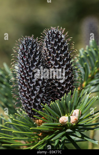Fruit cones Abies fargessii var. sutchunensis native to China cones Yorkshire Arboretum Kew Castle Howard North - Stock Image