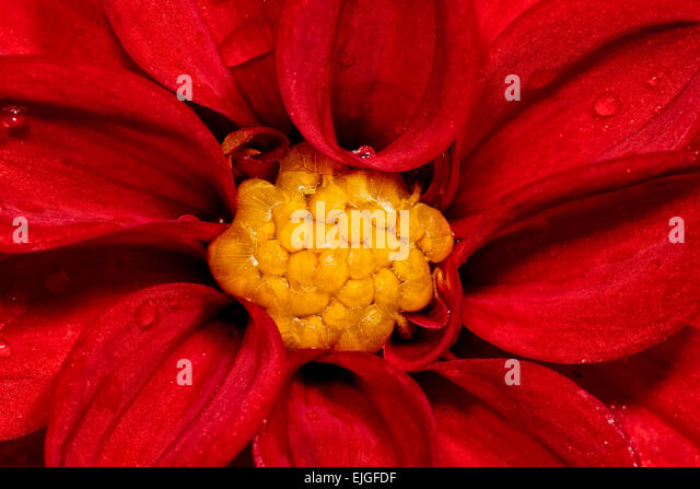 Macro / Close-up of a Red Dahlia flower - Stock Image