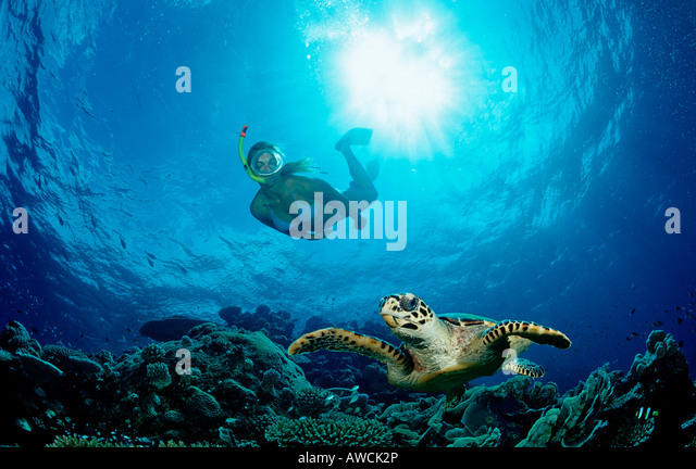 Hawksbill Turtle and Skin Diver Eretmochelys imbricata Maldives Indian Ocean Meemu Atoll - Stock-Bilder