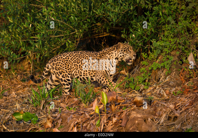 Wild male Jaguar stalking in late afternoon sun light. Cuiaba River, Northern Pantanal, Brazil. (Panthera onca palustris) - Stock-Bilder