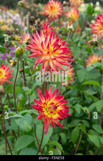 Penzance, Cornwall, UK. 10th October 2015. Dahlias still in flower at the national Dahlia collection at Varfell - Stock Image